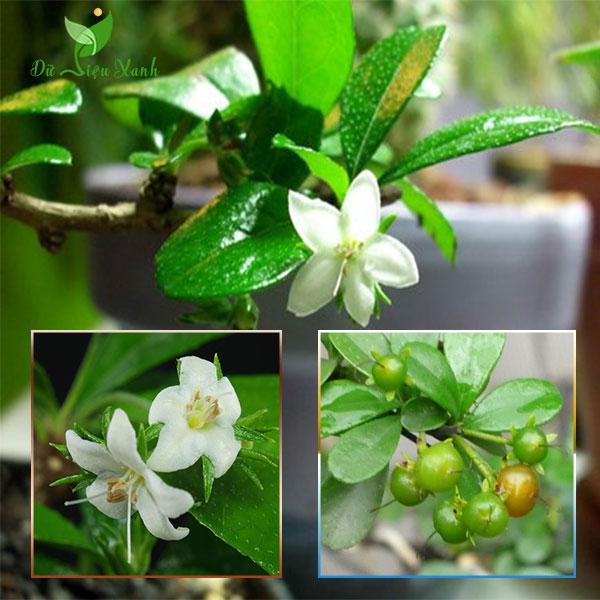Cây hoa bùm sụm