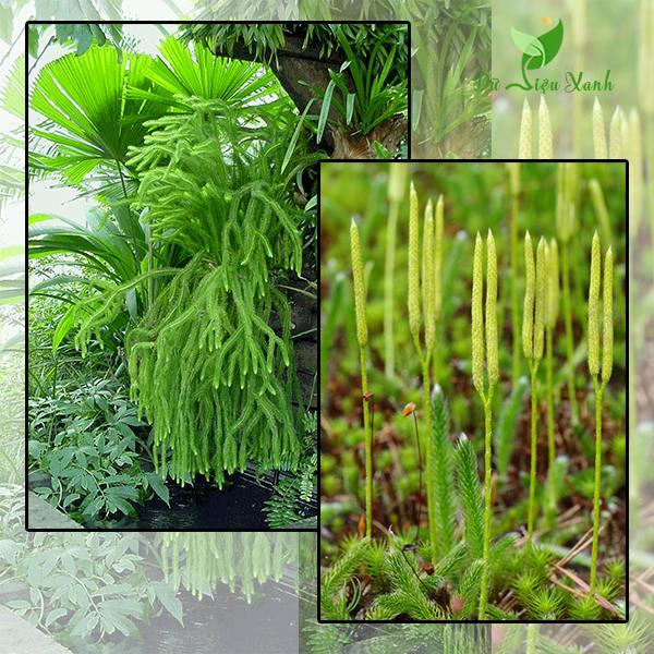 Đặc điểm của cây rau rồng