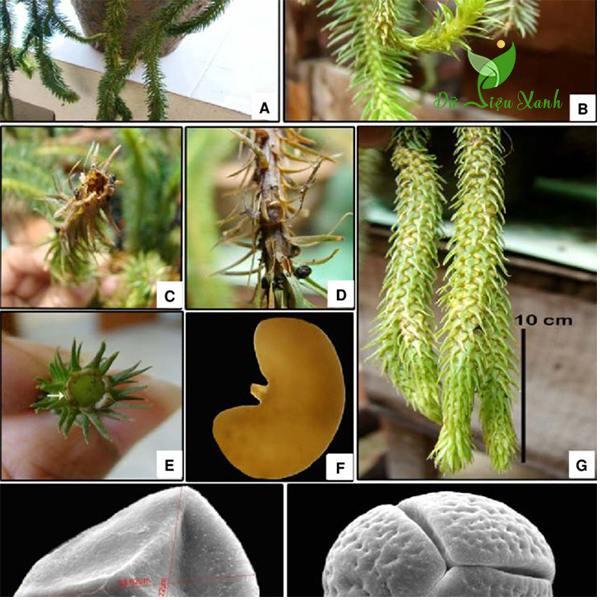 Công dụng chữa bệnh của cây rau rồng