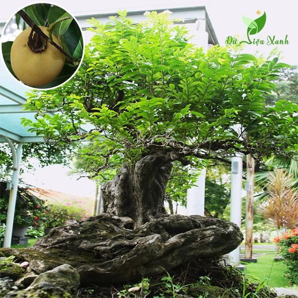 Cây thị bonsai