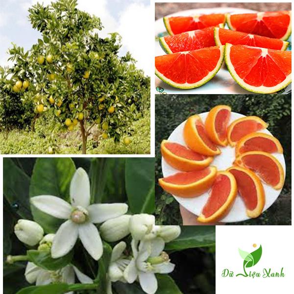 Chi tiết cây cam cara