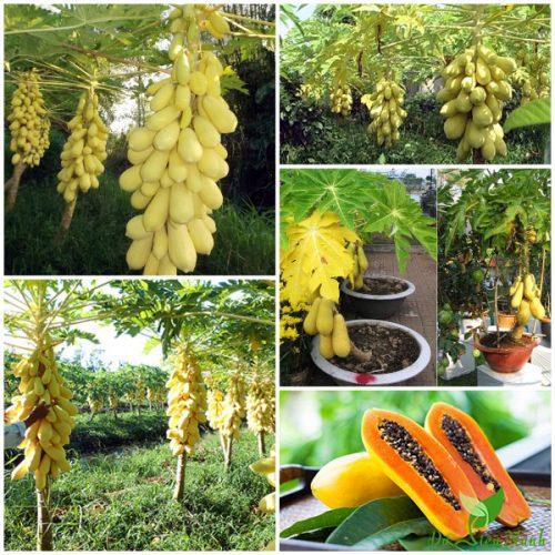 Đu Đủ Da Vàng Thái Lan