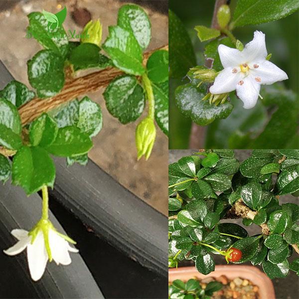 Hoa cùm rụm