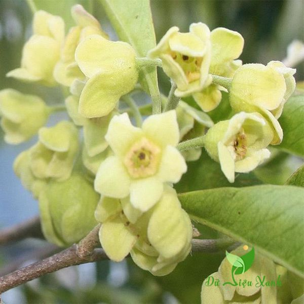 Hoa trầm hương đẹp