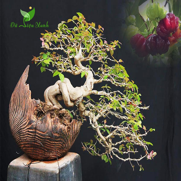 Cây Surinam Cherry bonsai