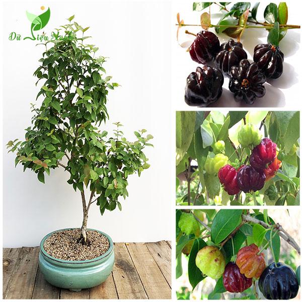 Cây Surinam Cherry