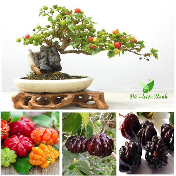 Surinam Cherry bonsai