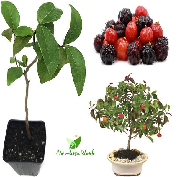 Cây Cherry Surinam
