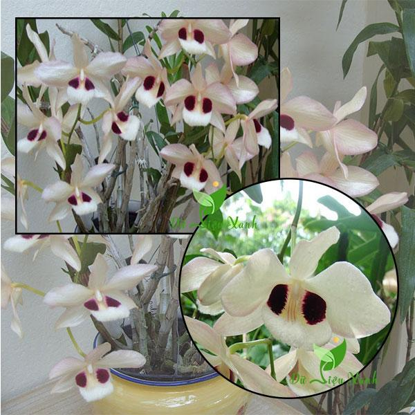 Hoàng thảo Thái Bình