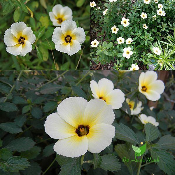 Cách trồng hoa đông hầu