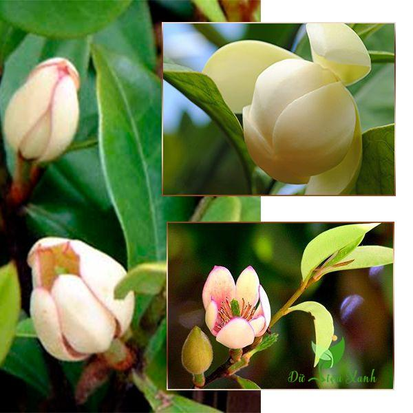 Cây hoa hàm tiếu