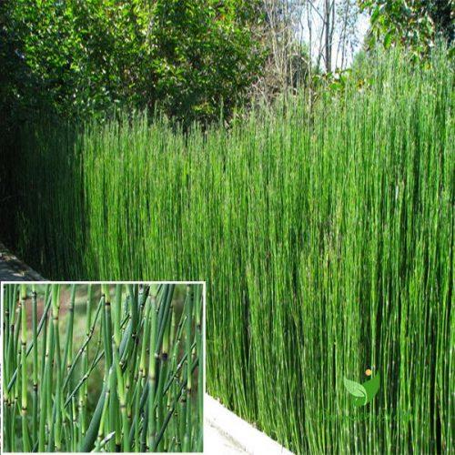 Cây cỏ tháp bút