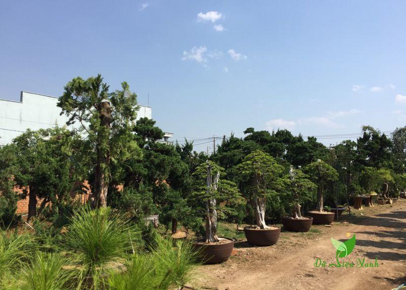 Giống cây Tùng Nhật trồng sân vườn