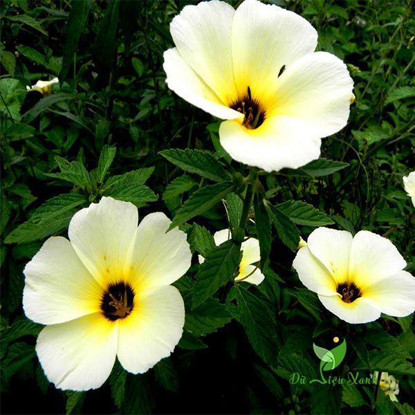 Đặc điểm hoa đông hầu