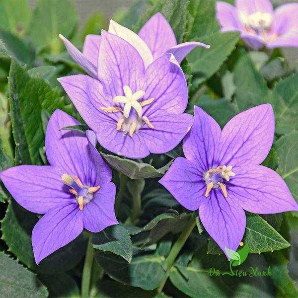 Màu sắc hoa cát cảnh