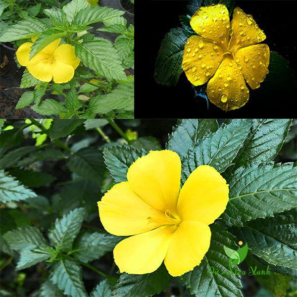 Màu sắc hoa đông hầu