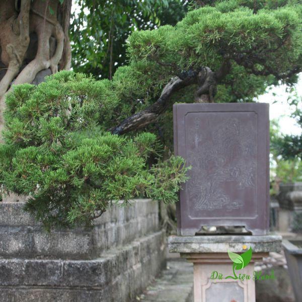 Chậu Tùng Cối bonsai