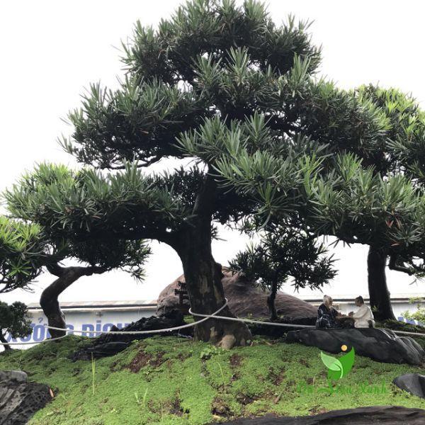 Cây Tùng Nhật trồng sân vườn
