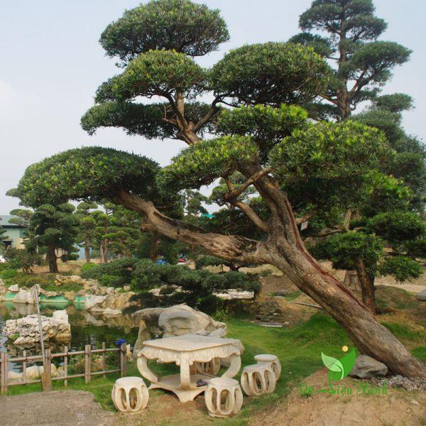 Tùng La Hán Nhật trong vườn